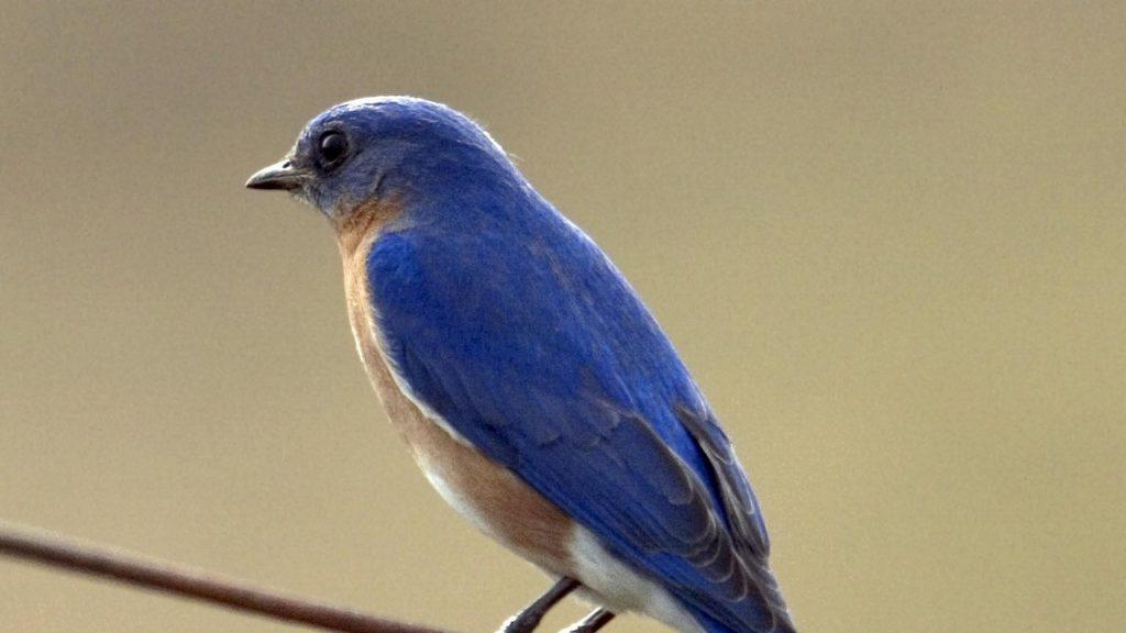 Photo: Bluebird