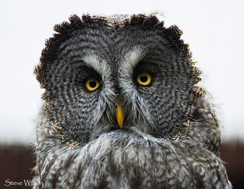 Photo of an owl for the Blab story